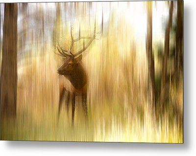 Bull Elk Forest Gazing Metal Print