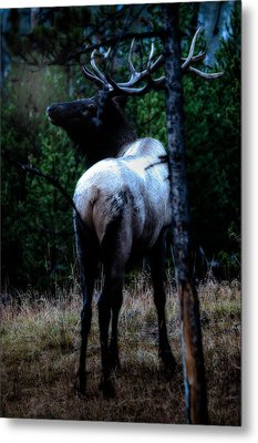 Bull Elk In Moonlight  Metal Print