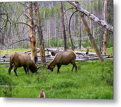 Bull Elk Sparing Metal Print by Larry Capra