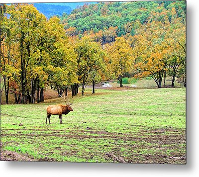 Bull Elk Metal Print by Wendy McKennon