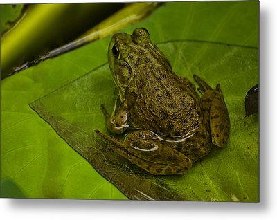 bull frog on a Lilly pad Metal Print