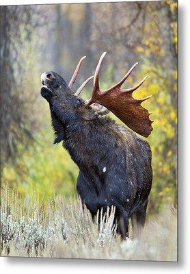 Bull Moose In Rut Metal Print by Gary Langley