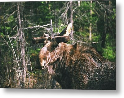 Metal Print featuring the photograph Bull Moose In Spring by David Porteus