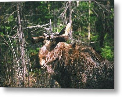 Bull Moose In Spring Metal Print