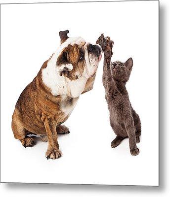 Bulldog And Kitten High Five  Metal Print by Susan Schmitz