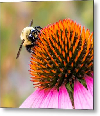 Bumble Bee On Coneflower Metal Print by Jim Hughes