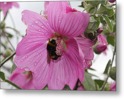 Bumble Bee On Lavatera Metal Print by David Grant