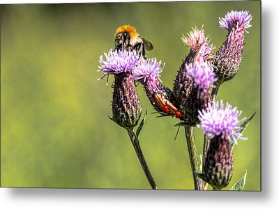 Metal Print featuring the photograph Bumblebee On Thistl by Leif Sohlman