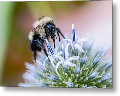 Bumblebee On Thistle Blossom Metal Print by Marty Saccone