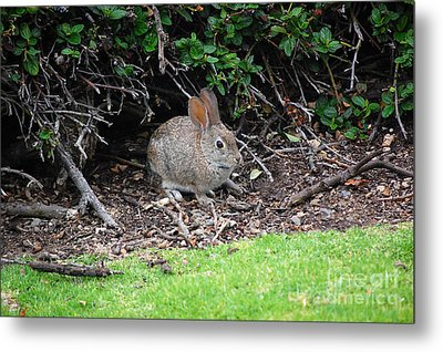 Metal Print featuring the photograph Bunny In Bush by Debra Thompson