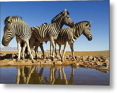Burchells Zebras At Waterhole Namibrand Metal Print by Theo Allofs