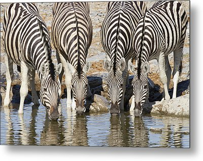 Burchells Zebras Drinking Etosha Np Metal Print