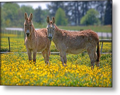 Burros In The Buttercups Metal Print by Suzanne Stout