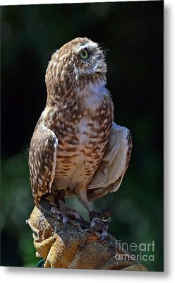 Metal Print featuring the photograph Burrowing Owl by Debby Pueschel