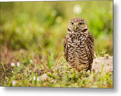 Burrowing Owl Looking After Its Home Metal Print
