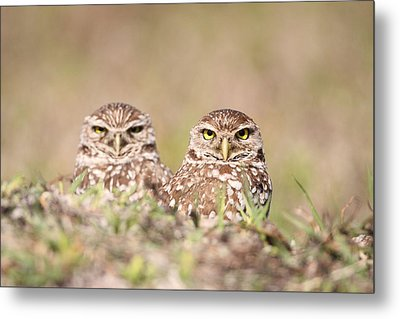 Burrowing Owl Pair Metal Print by Brian Magnier