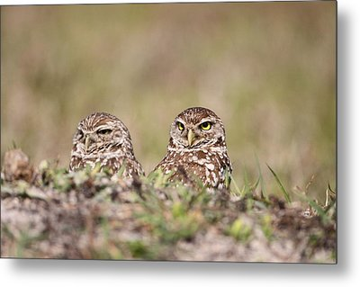 Burrowing Owls Metal Print by Brian Magnier