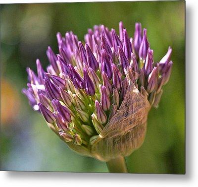 Bursting Allium Purple Sensation Metal Print by Rona Black