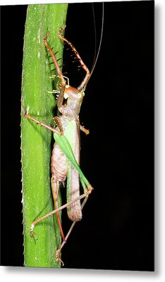 Bush Cricket Metal Print