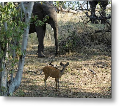 Bushbuck And Elephant In A Forest, Toka Metal Print by Panoramic Images