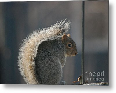 Metal Print featuring the photograph Bushy Tail by Mark McReynolds