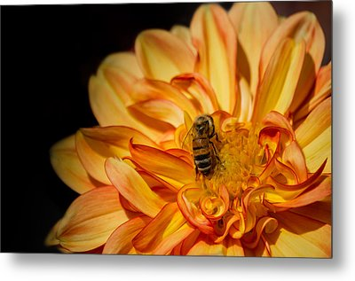 Busy Bee Dahlia Metal Print
