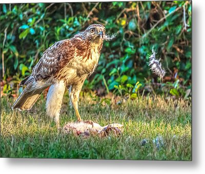 Metal Print featuring the photograph Buteo Jamaicensis by Rob Sellers