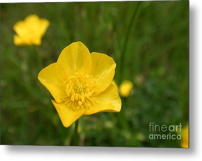 Buttercup Collection Photo 2 Metal Print