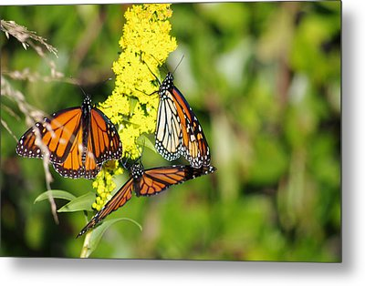Metal Print featuring the photograph Butterflies Abound by Greg Graham