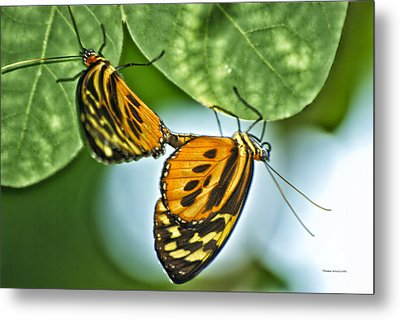 Metal Print featuring the photograph Butterflies Mating by Thomas Woolworth
