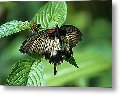 Metal Print featuring the photograph Butterfly 2 by Kathy Churchman