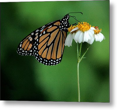 Metal Print featuring the photograph Butterfly 3 by Leticia Latocki