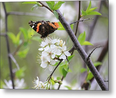 Metal Print featuring the photograph Butterfly And Apple Blossoms by Penny Meyers