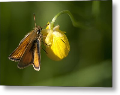 Butterfly And Buttercup  Metal Print