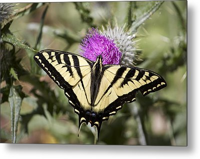 Butterfly Metal Print by Ashley Balkan