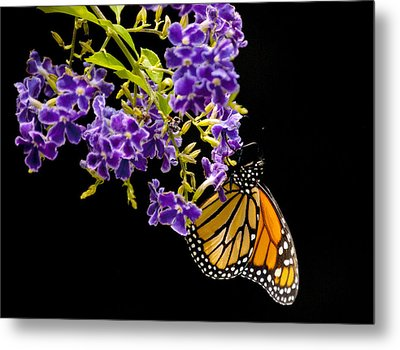 Butterfly Attraction Metal Print by Phyllis Peterson