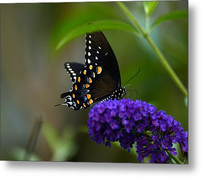 Butterfly Atttaction Metal Print