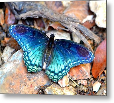 Metal Print featuring the photograph Butterfly Blue  by Deena Stoddard