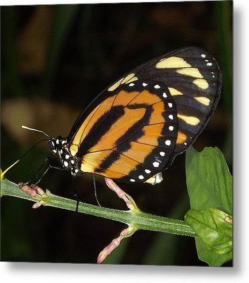 Butterfly Collecting Nectar Metal Print by Bill Woodstock