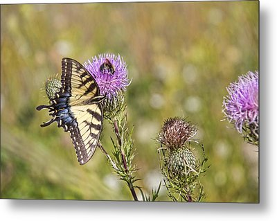 Butterfly Metal Print by Daniel Sheldon