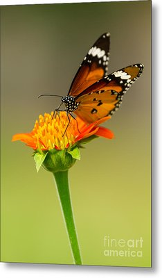 Butterfly Feeding Metal Print