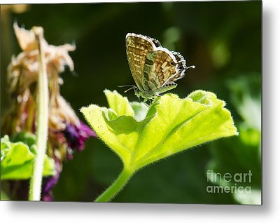 Butterfly Metal Print by Giovanni Chianese