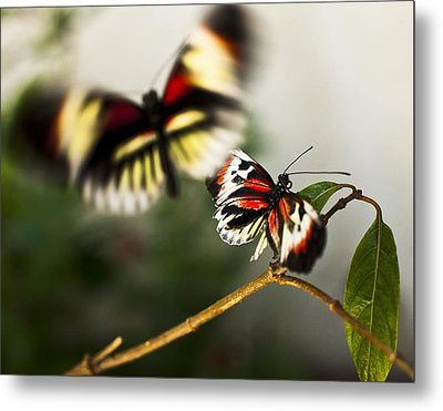 Metal Print featuring the photograph Butterfly In Flight by Bradley R Youngberg