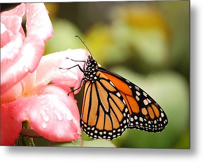 Butterfly  Metal Print by Kathy Gibbons
