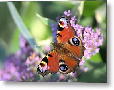 Butterfly On Buddleia Metal Print by Gordon Auld