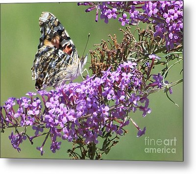 Metal Print featuring the photograph Painted Lady Butterfly by Eunice Miller