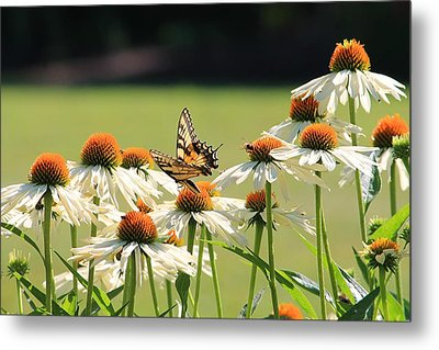 Butterfly On Echinacea Metal Print