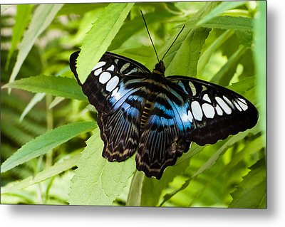 Metal Print featuring the photograph Butterfly On Leaf   by Lars Lentz