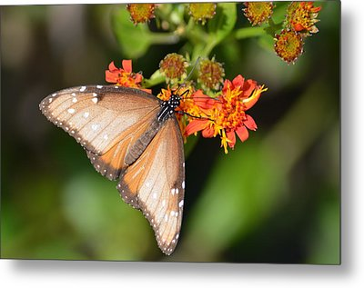 Butterfly On Mexican Flame Metal Print by Debra Martz