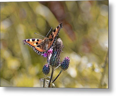 Butterfly On Tistle Sep Metal Print by Leif Sohlman
